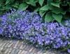 Geranium incanum Johnson's Blue