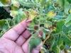 Kak borot'sya s fitoftoroj na tomatah (2)