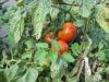 Kak borot'sya s fitoftoroj na tomatah (5)