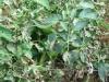 Kak borot'sya s fitoftoroj na tomatah (7)