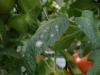 Muchnistaya rosa na pomidorah