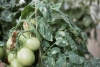 Muchnistaya rosa na pomidorah (3)