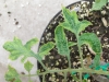 Tomat-mozaika