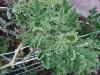 ZHeltaya-kurchavost-listev-tomata-2