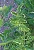 ZHeltaya-kurchavost-listev-tomata