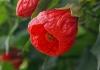 abutilon-red