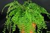 adiantum-caudatum-plant