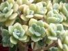 aichryson-tortuosum