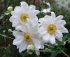 anemony v sadu (12)