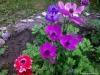 anemony v sadu (15)
