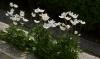 anemony v sadu (4)