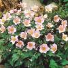 anemony v sadu (5)