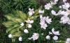 anemony v sadu (8)