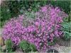 bodziszek patricia geranium patricia03