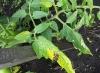 bolezni pomidorov fitoftoroz