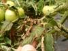 bolezni pomidorov fitoftoroz (2)