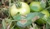 bolezni pomidorov fitoftoroz (4)