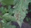 bolezni pomidorov fitoftoroz (5)