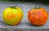 bolezni pomidorov mozaika