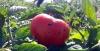 bor'ba s fitoftoroj na pomidorah (3)