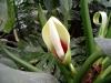 cvetok-filodendrona