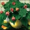 cvetok abutilon (10)