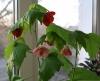 cvetok abutilon (11)