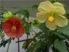 cvetok abutilon (13)