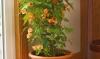 cvetok abutilon (14)