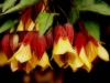 cvetok abutilon (15)