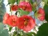 cvetok abutilon (16)
