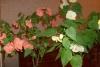 cvetok abutilon (17)