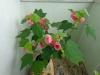 cvetok abutilon (19)