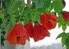 cvetok abutilon (2)