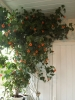 cvetok abutilon (20)