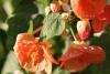 cvetok abutilon (22)