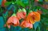 cvetok abutilon (23)