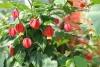 cvetok abutilon (24)