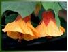 cvetok abutilon (25)