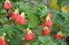 cvetok abutilon (27)