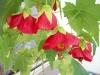 cvetok abutilon (28)