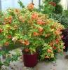 cvetok abutilon (29)