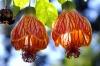 cvetok abutilon (30)