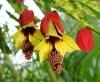 cvetok abutilon (31)
