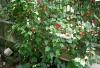 cvetok abutilon (33)