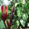 filodendron-cvetok-uhod-v-domashnih-usloviyah-55