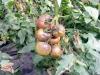 fitoftora na pomidorah (2)