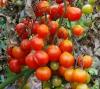 fitoftora na pomidorah (3)