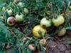 fitoftora na pomidorah (5)