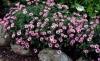 geranium cinereum ballerina  3-642x393
